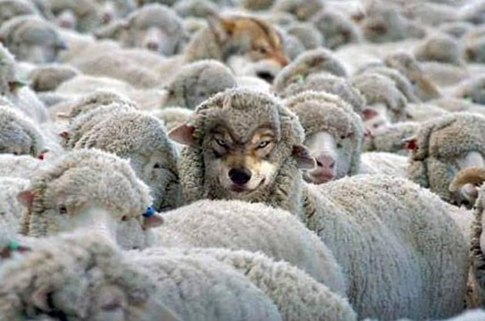 sheepwolve
